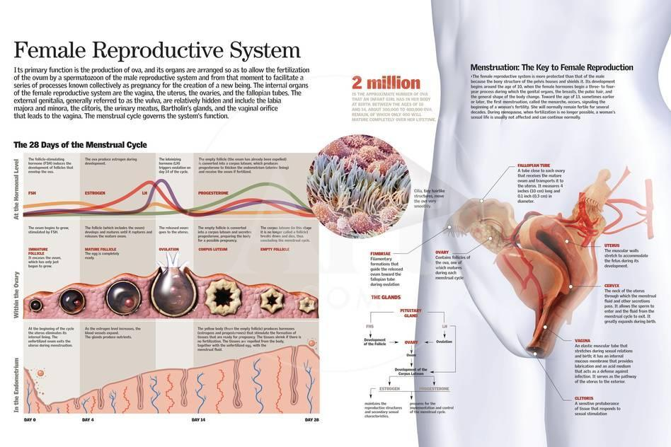 Infographic Of The Female Reproductive System And The Menstrual