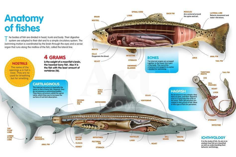 Infographic That Presents The Anatomy Of Bony Fish Cartilaginous