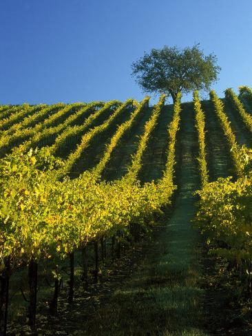 Fall Foliage in Vineyard, Sonoma, CA Photographic Print