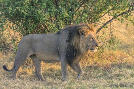 botswana chobe national park savuti male lion walking