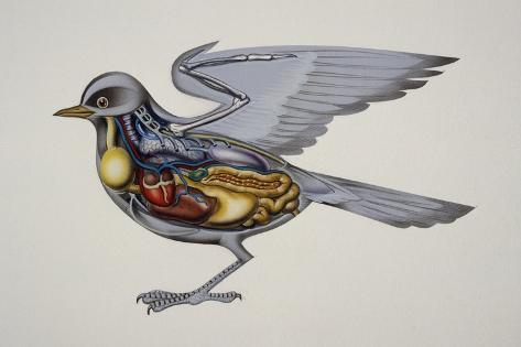 Internal Anatomy of a Bird, Drawing Giclee Print - AllPosters.ca