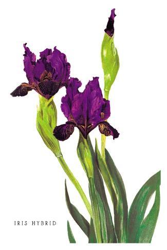 Iris Hybrid Decalcomania da muro