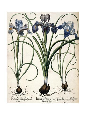 Iris Stretched Canvas Print