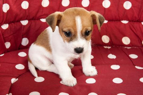 red spotted pet bed with little jack russel puppy photographic print