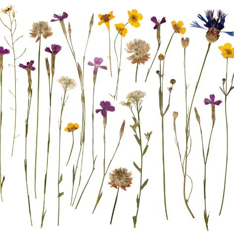 Pressed Wild Flowers Art Print