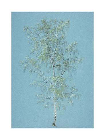 Birch Tree Lámina giclée