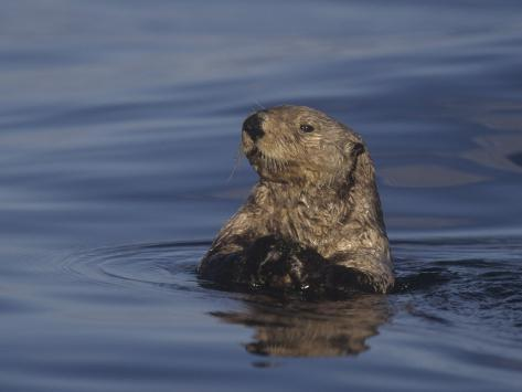 Sea Otter, Enydra Lutris, Surfacing from a Dive, California, Usa, Pacific Ocean Photographic Print