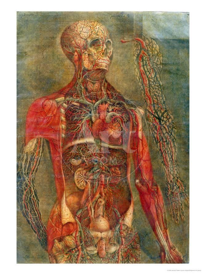 Internal Organs Of The Body Anatomy Of The Visceras Dissected