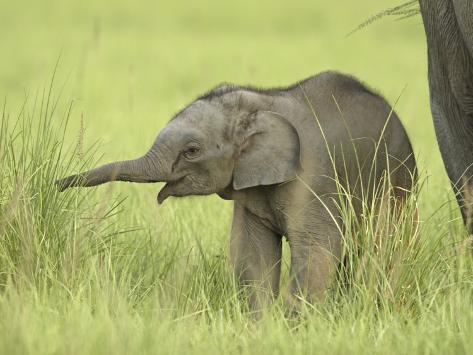 Asian Elephant,Corbett National Park, Uttaranchal, India Photographic Print