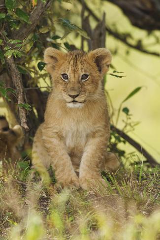 Lion Cub in the Bush, Maasai Mara Wildlife Reserve, Kenya Photographic Print