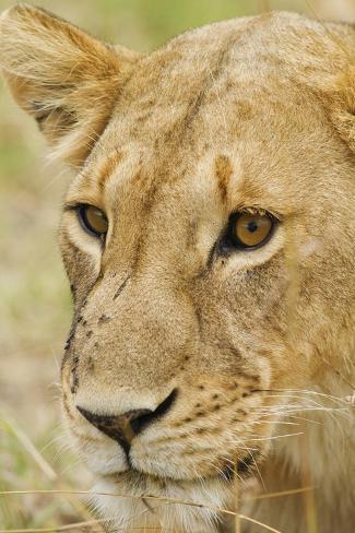 Lioness Up Close, Maasai Mara Wildlife Reserve, Kenya Photographic Print