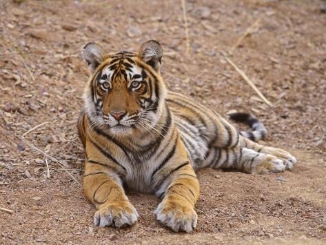 Portrait of Royal Bengal Tiger, Ranthambhor National Park, India Photographic Print