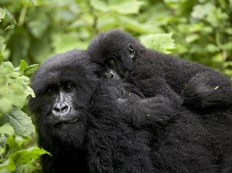 Adult Female Mountain Gorilla with Infant Riding on Her Back, Amahoro a Group, Rwanda, Africa Photographic Print