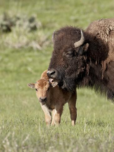 Bison (Bison Bison) Cow Cleaning Her Calf, Yellowstone National Park, Wyoming, USA, North America Photographic Print