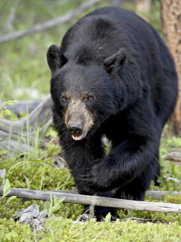 Black Bear (Ursus Americanus), Jasper National Park, Alberta, Canada, North America Fotoprint