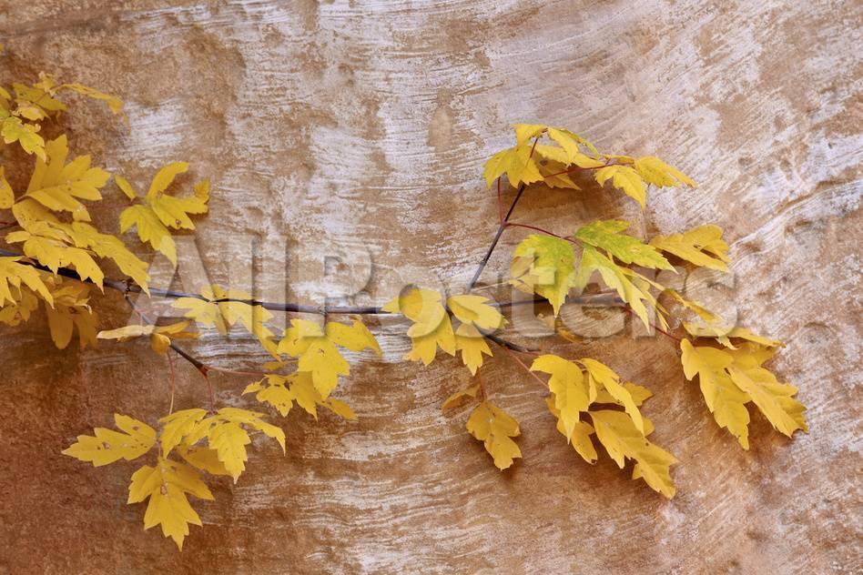 Box Elder Boxelder Maple Maple Ash Acer Negundo Branch With