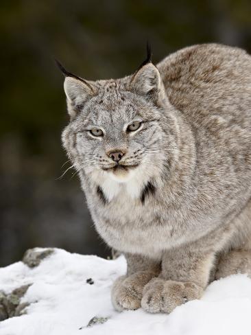Canadian Lynx (Lynx Canadensis) in the Snow, in Captivity, Near Bozeman, Montana, USA Photographic Print