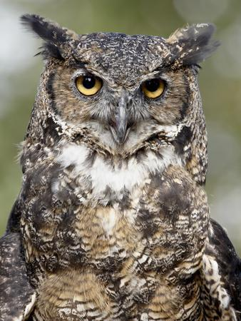 Types Of Bicycles >> Great Horned Owl (Bubo Virginianus) in Captivity, Wasilla, Alaska, USA Photographic Print by ...