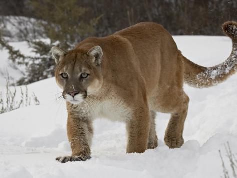 mountain lion or cougar in snow near bozeman montana usa l mina fotogr fica por james hager. Black Bedroom Furniture Sets. Home Design Ideas