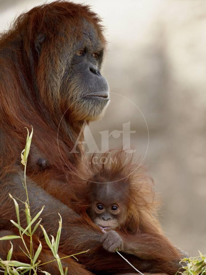 Orangutan Mother And 6 Month Old Baby In Captivity Rio Grande Zoo Photographic Print By James Hager At AllPosters