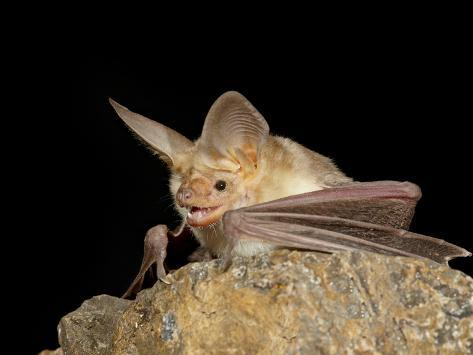Pallid Bat (Antrozous Pallidus) in Captivity, Hidalgo County, New Mexico, USA, North America Photographic Print
