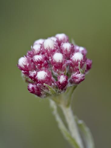 Rosy Pussytoes (Antennaria Microphylla), Glacier Nat'l Park, Montana, USA Photographic Print