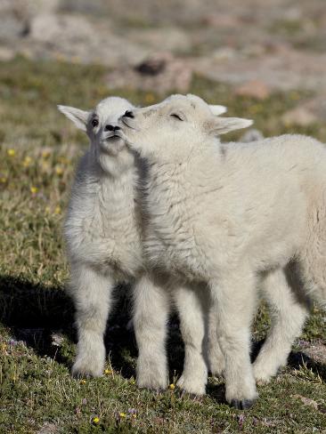 Two Mountain Goat Kids Playing, Mt Evans, Arapaho-Roosevelt Nat'l Forest, Colorado, USA Impressão fotográfica