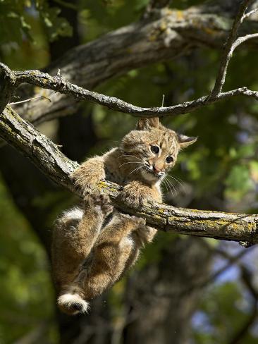 Young Bobcat Hanging onto a Branch, Minnesota Wildlife Connection, Sandstone, Minnesota, USA Photographic Print