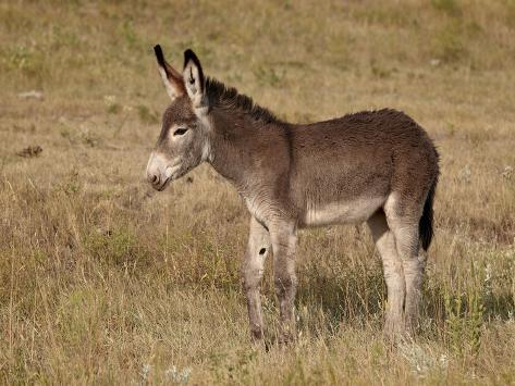 Young Wild Burro (Donk...