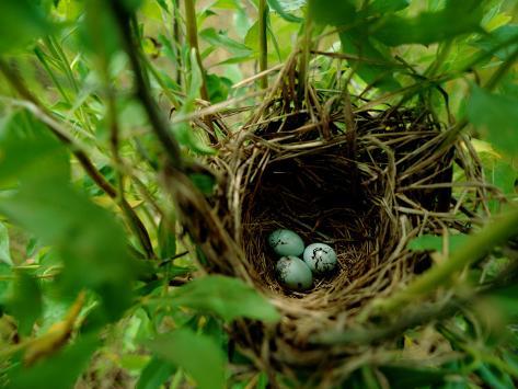 Bird Nest with Eggs Photographic Print