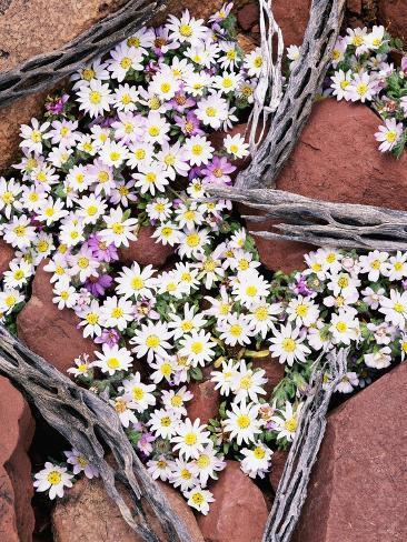Blooming Desert Stars Valokuvavedos