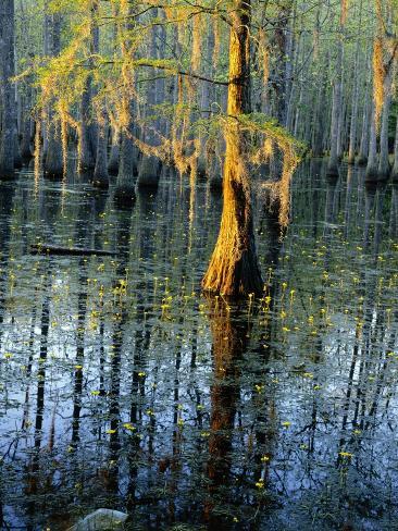 Cypress Tree and Bladderwort Flowers in Swamp Valokuvavedos