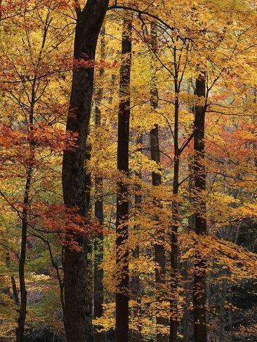 Deciduous Forest in Autumn Photographic Print