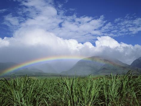 Rainbow Above Sugar Cane Field on Maui Photographic Print