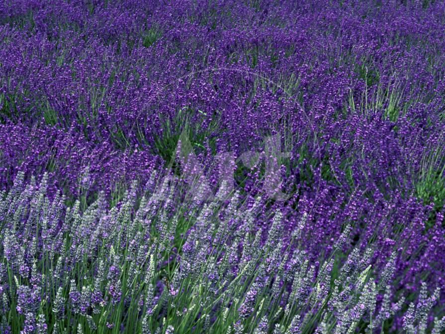 Lavender Fields In Sequim Olympic Peninsula Washington Usa