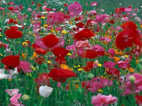 Shirley Mixed and California Poppy Field, Washington, USA Photographic Print