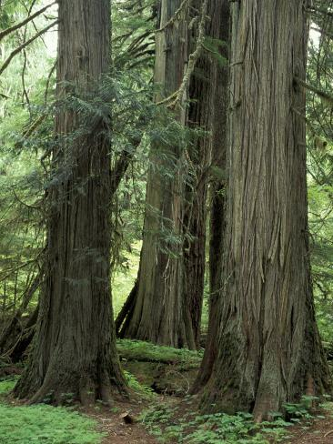 Western Red Ceders in Grove of Patriarchs, Mt. Rainier National Park, Washington, USA Photographic Print