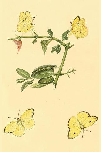 18 X 24 Surinam Butterflies Moths Caterpillars Poster Print By Jan Sepp Wall Art Posters Prints