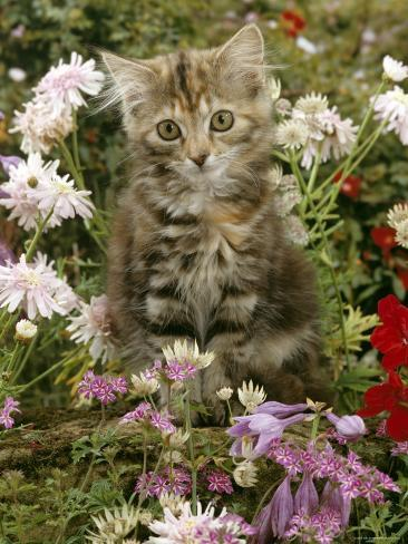 10-Week, Long Haired Tabby Kitten 'Powder Puff' Among Hosta, Verbena, Aphrodite, Argyranthemum Photographic Print