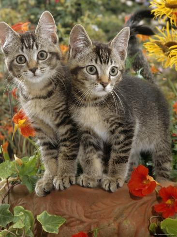 10-Week, Short-Haired Ticked Tabby Kittens with Nasturtiums, Montbretia and Yellow Daisies Photographic Print