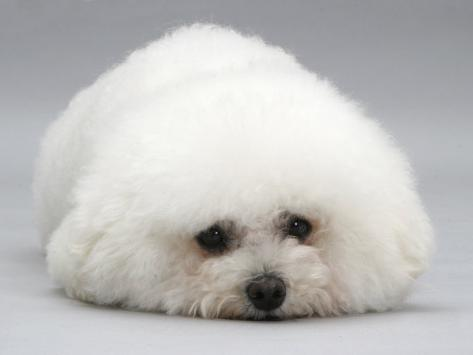 bichon frise lying down chin on floor photographic print by jane
