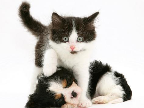 Black-And-White Kitten Walking Over Sleeping Cavalier King Charles Spaniel Puppy Photographic Print