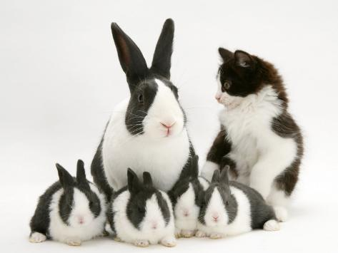 Blue Dutch Rabbit and Four 3-Week Babies and Black-And-White Kitten Photographic Print