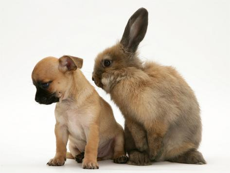 Chihuahua Puppy and Lionhead Rabbit Photographic Print