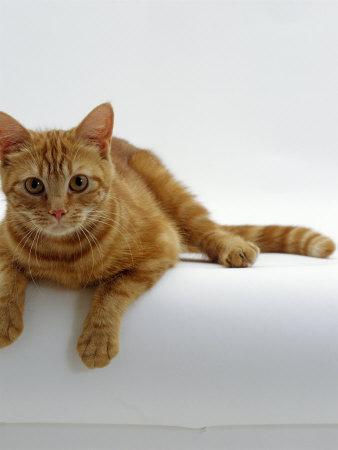 Domestic Cat, British Shorthair Red Tabby Female ...