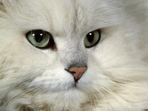 Domestic Cat, Chinchilla Persian Portrait Photographic Print