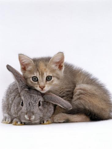 Domestic Cat, Silver Tortoiseshell Kitten with Silver Dwarf Lop Eared Rabbit Photographic Print