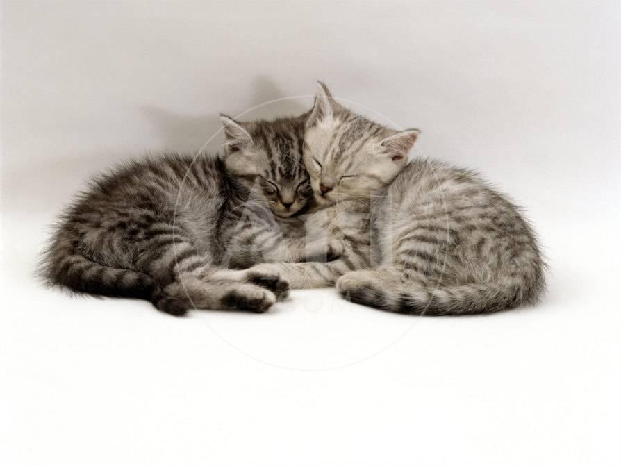 domestic cat two 7 week sleeping silver tabby kittens photographic
