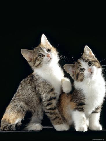 Domestic Cat, Two 8-Week Tabby Tortoiseshell and White Kittens Photographic Print