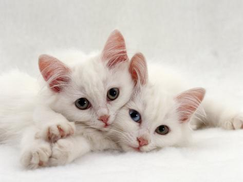 Domestic Cat, Two White Persian-Cross Kittens, One Odd-Eyed Photographic Print